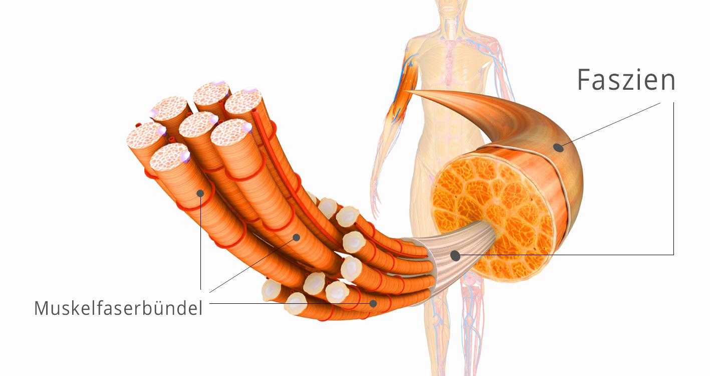 Bildliche Darstellung wie die silbrigen Faszien die Muskelfaserbündel umschließen